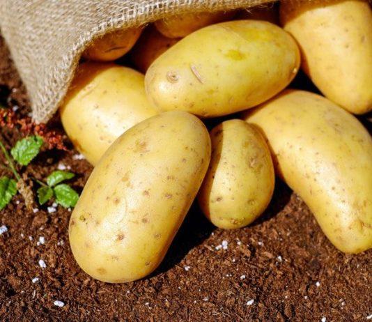 raccolto patate