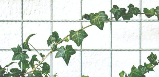 piante rampicanti sempreverdi