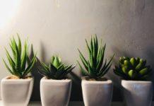 piante grasse con fiorellini