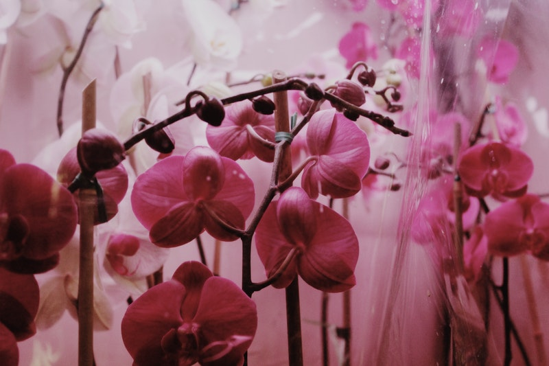 potature orchidee