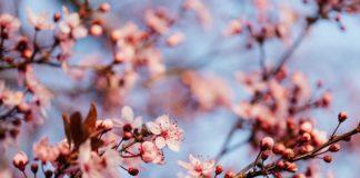 potatura ciliegio